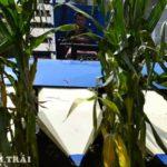 Chuyên phân phối máy thu hoạch ngô mini hiệu quả cao cho bà con nông dân